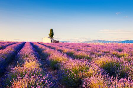 House in lavender field at sunset near Valensole, Provence, France. Selective focus. Beautiful summer landscape.
