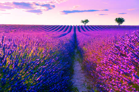 Lavender fields near Valensole, Provence, France. Beautiful summer landscape at sunset. Blooming lavender flowers 免版税图像