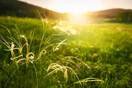 Wild feather grass on the green forest meadow at sunset. Macro image, shallow depth of field. Beautiful summer landscape