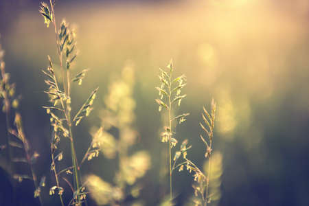 Wild grass in a forest at sunset. Macro image, shallow depth of field. Vintage filter. Abstract summer nature background.