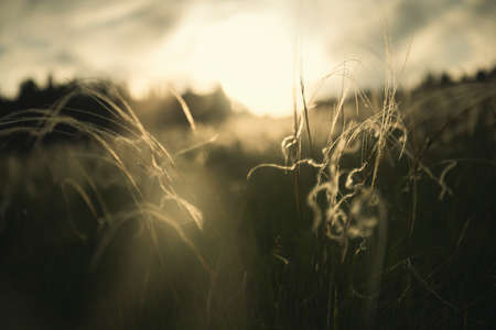 Wild feather grass in a forest at sunset. Macro image, shallow depth of field. Beautiful summer nature background