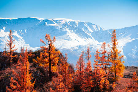 Snow-covered mountain peaks and yellow trees. Autumn landscape in Altai, Siberia, Russia. View of North-Chuya mountain ridge