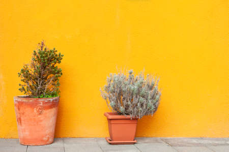 Two flowers in the pots near the yellow wall of the house. Abstract nature background. Colorful architecture in Burano island, Venice, Italy.