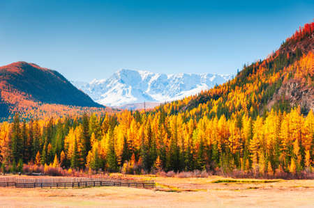 Yellow autumn forest and snow-covered mountain peaks in Altai, Siberia, Russia. North-Chuya mountain ridge