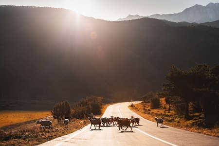 Herd of sheep crossing the road in the mountains at sunrise. Erzi national park in Ingushetia, Caucasus, Russia. Beautiful autumn landscape