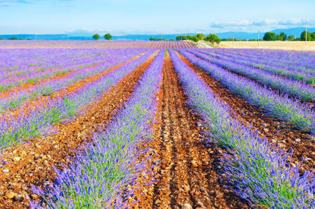 Lavender fields near Valensole, Provence, France. Young lavender flowers. Beautiful summer landscape.