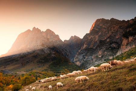 Herd of sheep grazing in the mountains at sunset. Erzi national park in Ingushetia, Caucasus, Russia. Beautiful autumn landscape