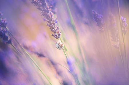 Small snail on the lavender flower. Macro image, shallow depth of field. Lavender flowers in Provence, France. Beautiful nature background