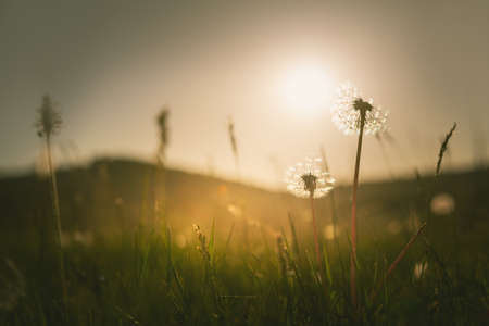 Green grass with dandelions in the mountains at sunset. Macro image, shallow depth of field. Summer nature background.
