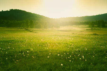 Forest meadow with fresh green grass and dandelions at sunset. Selective focus. Beautiful summer nature background.
