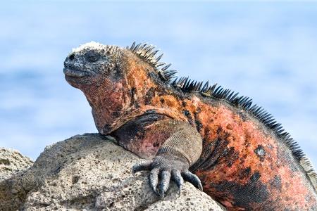 Galapagos marine iguana.