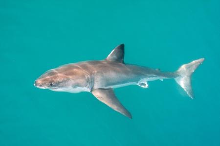 White Shark. photo