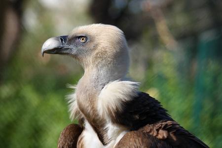 scavenger: Griffon Vulture.