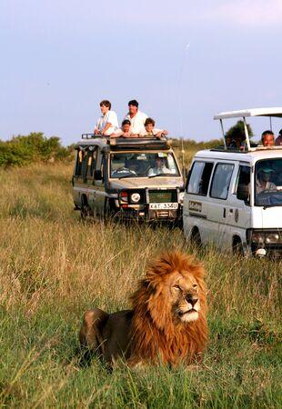 animales safari: Masai Mara, Kenia - 22 de junio de 2007: Imagen de algunos turistas en busca de un coche a un le�n en un d�a t�pico de un safari.