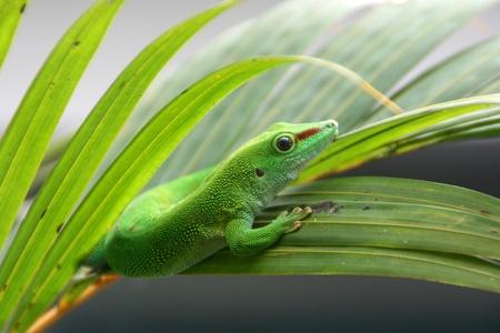 blindly: Gecko reptil, Phelsuma madagascariensis. Foto de archivo