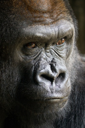 Gorilla. photo