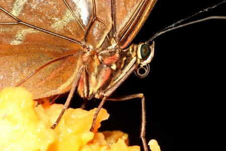 lepidopteran: Butterfly