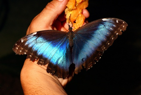 Butterfly Morpho peleides eating on human hand Stock Photo - 13112094