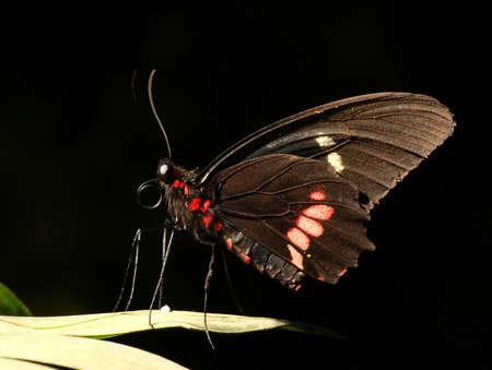 Black Butterfly Stock Photo - 13112103