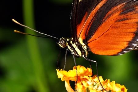 danaus: Tiger Butterfly, Danaus chrysippus