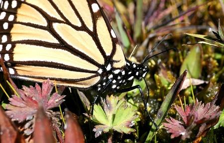 plexippus: Monarch butterfly, Danaus plexippus