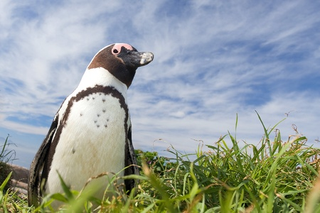 African penguin. Stock Photo