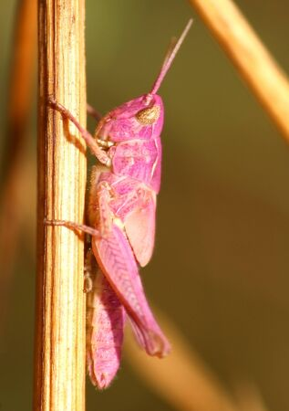 Pink grasshopper Stock Photo - 13112121