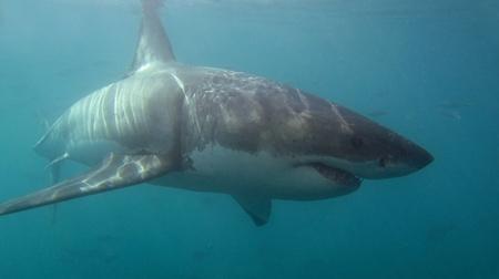 shark teeth: White shark. Stock Photo