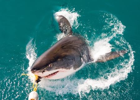 diving: White shark. Stock Photo
