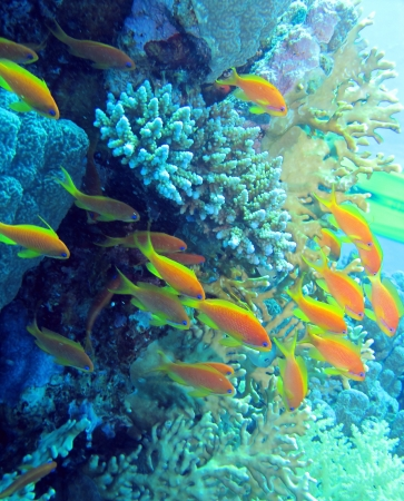 anthias fish: Red Sea anthias fish, Pseudanthias taeniatus Stock Photo