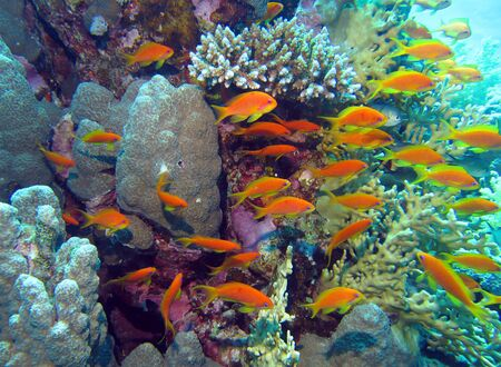 anthias fish: Fishes in coral reef, Red Sea Stock Photo