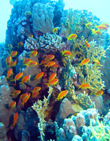 anthias: Fishes in coral reef, Red Sea Stock Photo