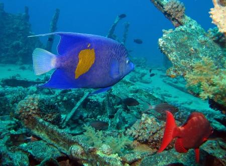 pomacanthus: Arabian angelfish, Pomacanthus maculosus Stock Photo
