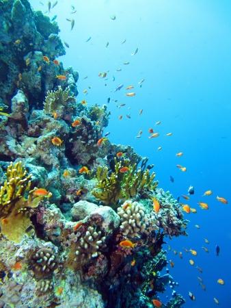 Red Sea anthias fish, Pseudanthias taeniatus Standard-Bild