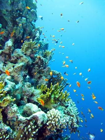 Red Sea anthias fish, Pseudanthias taeniatus Stock Photo