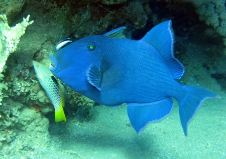 Blue triggerfish, Pseudobalistes fuscus photo