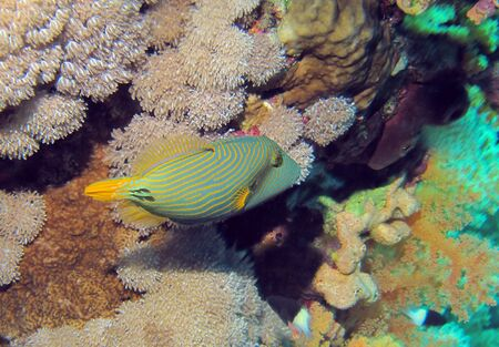 Triggerfish, Red Sea Stock Photo - 14235768