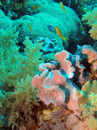 sarcophyton: Rough leather coral, Sarcophyton glaucum