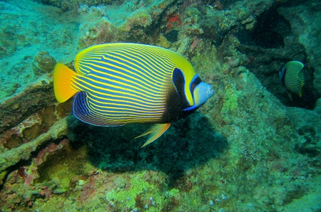 pomacanthus imperator: Emperor angelfish, Pomacanthus imperator