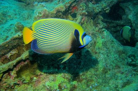 pomacanthus imperator: Imperatore angelfish, Pomacanthus imperator