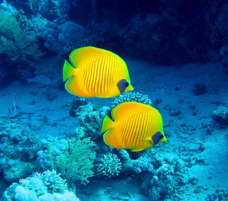 Masked butterfly fish, Chaetodon semilarvatus photo