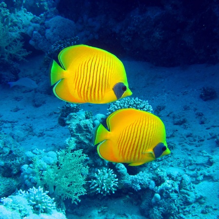 beach butterfly: Masked butterfly fish, Chaetodon semilarvatus Stock Photo