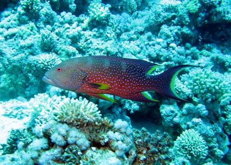 lyretail: Lyretail grouper, Variola louti Stock Photo