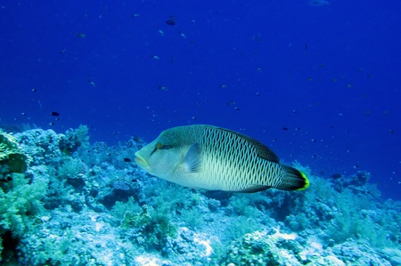 Napoleon fish, Red Sea photo