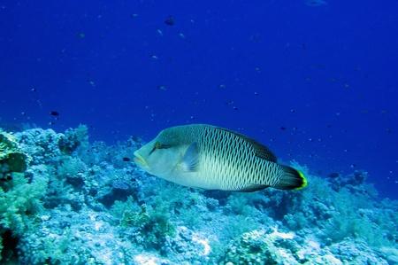 napoleon fish: Napoleon fish, Red Sea Stock Photo
