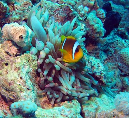 amphiprion bicinctus: Red Sea clown fish  Amphiprion bicinctus   Stock Photo