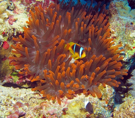 clown fish amphiprion: Red Sea clown fish  Amphiprion bicinctus   Stock Photo