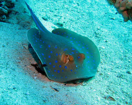 spotted ray: Bluespotted stingray Stock Photo