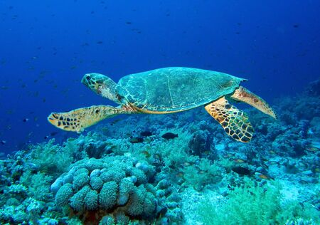 chelonia: Green turtle, Chelonia mydas, Red Sea  Stock Photo