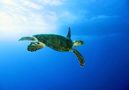 tortue verte: La tortue verte, Chelonia mydas, la mer Rouge Banque d'images